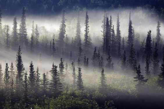 TREES IN THE MIST. DEMPSTER HIGHWAY. NORTHWEST TERRITORIES. CANADA.