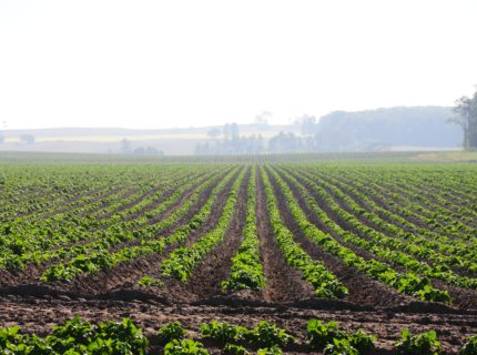 Potato field in Melancthon, Canada, photographed by John Church and published in In the Hills Magazine